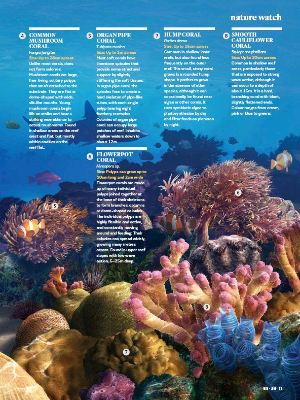 Pressreader australian geographic 2017 05 01 coral reef scene it is a hard branching coral with blunt slightly flattened ends colour ranges from cream pink or blue to greens mightylinksfo Choice Image